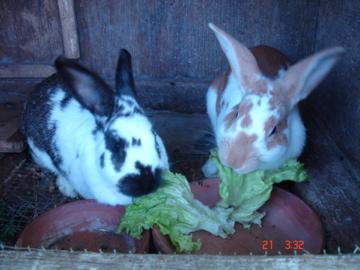 buddy bunnies
